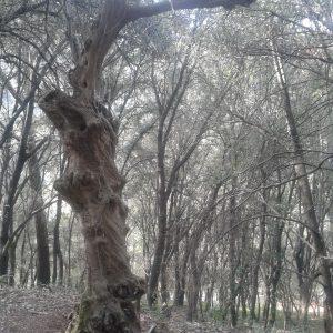 olivera_petrificada_20151012_1681823925